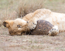 Lion and Tortoise