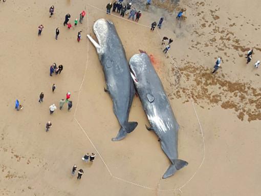Whale Tragedy